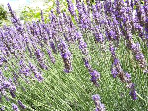 treat burn scalds lavender